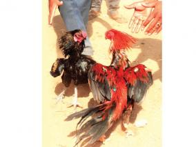 rooster-fight
