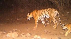 tiger-kills-eats-man-in-corbett-reserve