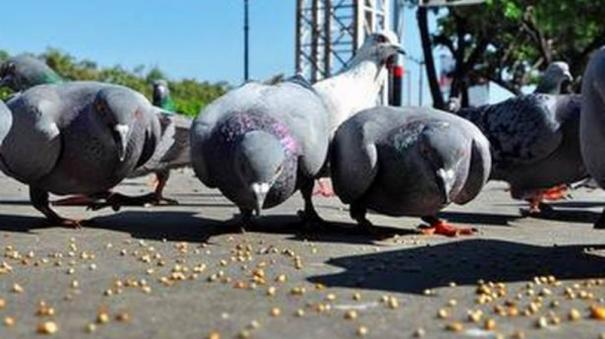 pigeons-die-after-consuming-poison-laced-grains