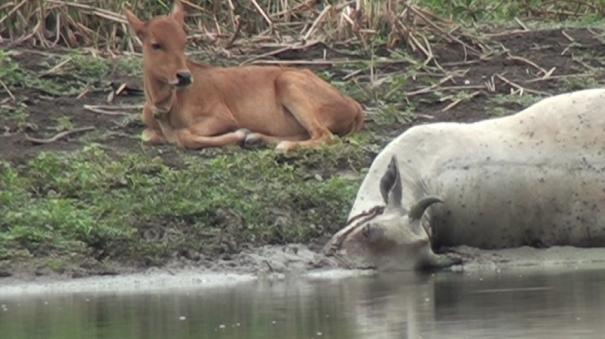 a-calf-that-does-not-leave-a-dead-cow-in-the-mud-of-osudu-lake