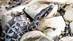 python-egg-hatches