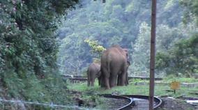 wild-elephants-roaming-near-coonoor-rannimedu-railway-station