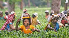 assam-s-golden-tea-sells-for-50-000-per-kg