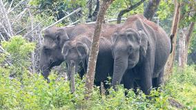 elephants-die
