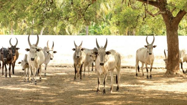 tamil-nadu-law-to-destroy-local-livestock