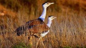 ngt-directs-govt-to-prepare-time-bound-action-plan-for-protection-of-great-indian-bustard