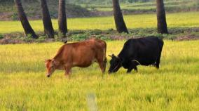 madhya-pradesh-government-to-offer-cows-for-adoption-online