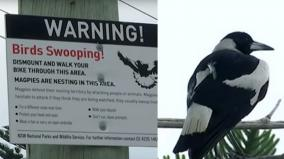 australian-man-dies-after-attack-by-aggressive-swooping-magpie