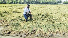 harvesting-of-ready-to-harvest-rice-paddies-in-the-cauvery-delta