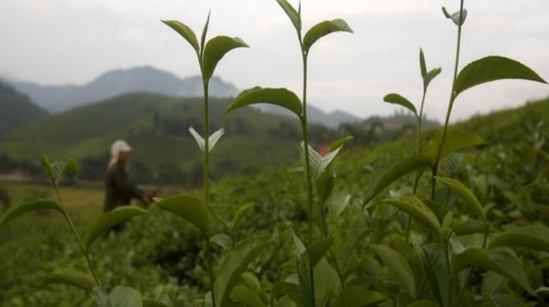 கிரீன் டீ அருந்துவது நோய் எதிர்ப்பு சக்தியை அதிகரிக்கும்: ஆய்வில் தகவல் | Green tea can terminate antibiotic resistant bacteria: Research