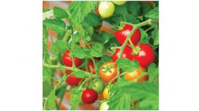 a-mobile-machine-to-prevent-wasting-of-tomatoes