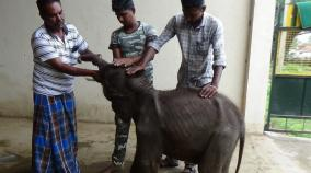 baby-elephant-seperated-from-mother-in-sathyamangalam