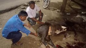 government-veterinary-doctors-help-an-ox-caught-in-accident
