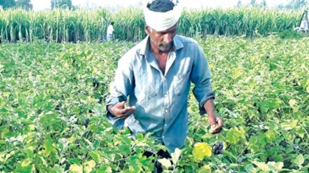 brinjal-farming
