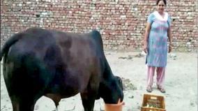 40-grams-of-jewelery-swallowed-cow