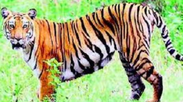 tiger-trapped-in-rocks-after-jumping-35-feet-into-maharashtra-river-dies