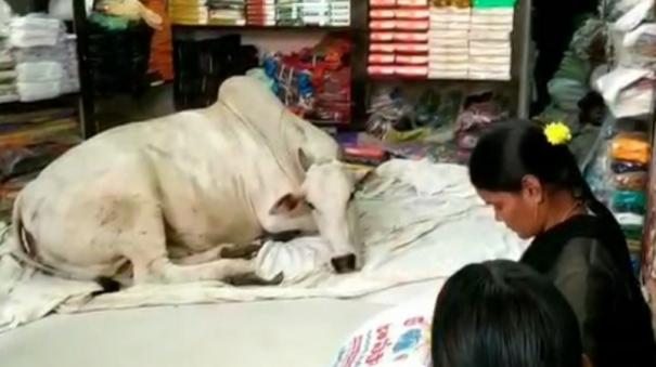 ap-cow-visits-garment-store-in-kadapa-every-day-owner-feels-it-has-boosted-sales