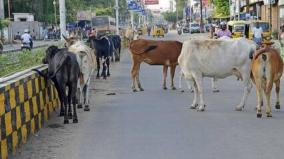 stray-cattles-seized-nellai-corporation-takes-action