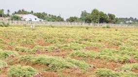 tamilnadu-onion-harvest
