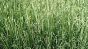 tamilnadu-villages-named-after-native-paddy-grain-breed