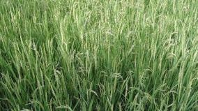 tamilnadu-villages-in-rice-crops