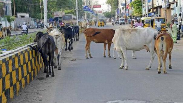 stray-cows-captured-and-lodged-in-goshalas