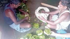 betel-leaves-cultivation