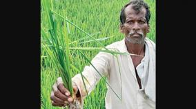 paddy-affected-by-insects-in-karaikudi-100-acres-under-threat