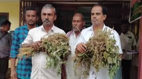 farmers-seek-compensation-for-urid-crops-that-damaged-in-recent-rain