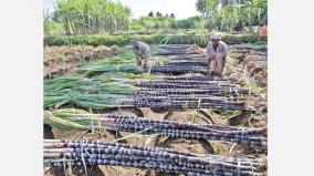 erode-red-sugarcane