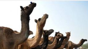 5-000-camels-shot-dead-in-5-days-in-drought-hit-australia