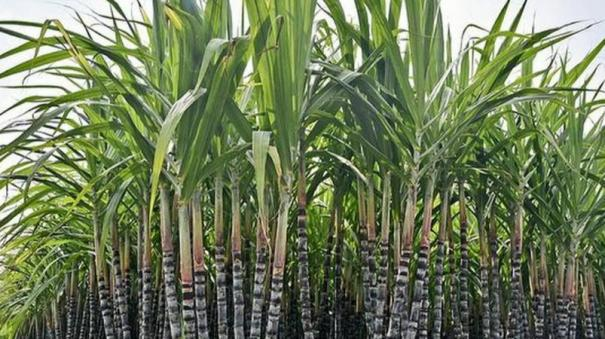 facts-about-sugar-cane