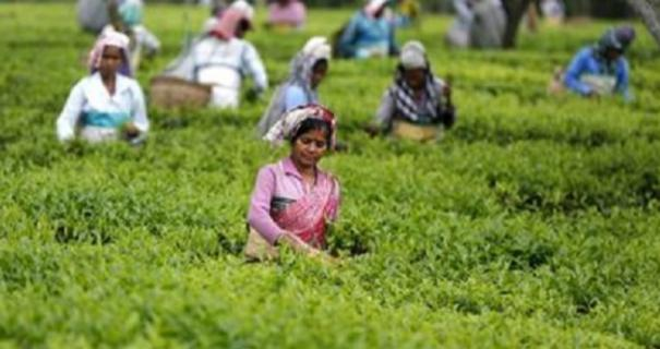 tea-production-will-increase-only-when-workers-quality-of-life-betters-ita