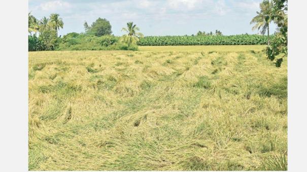 crops-destroyed-due-to-sudden-rain