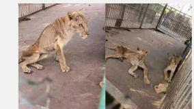 online-campaign-grows-to-save-sick-and-starving-lions-in-sudan-park