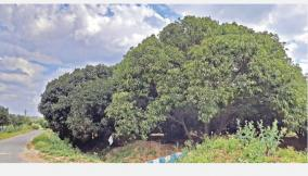 mango-cultivation