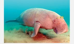 dugong-in-gulf-of-mannar