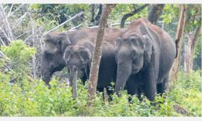 wild-elephants-roam-near-dindigul-public-in-fear