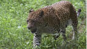 indian-leopards-suffered-75-to-90-population-decline-paper