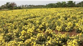 sevandhi-flowers-gain-good-fortune-for-dindigul-farmers
