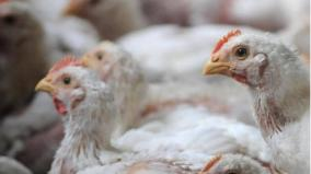 poultry-federation-against-concession-on-us-dairy-products