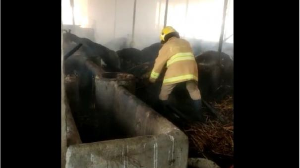 fire-in-cow-shed-40-cows-charred-to-death