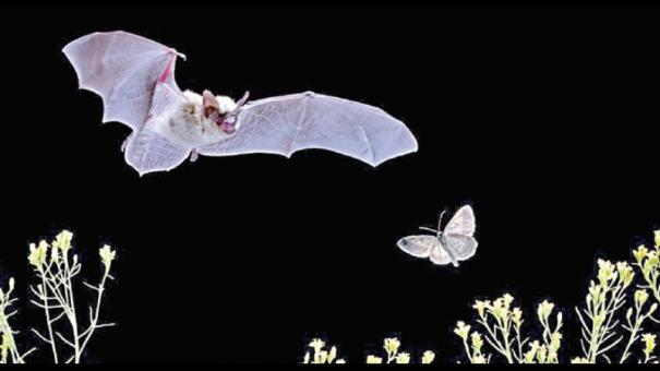 noise-cancelling-scales-in-moths-help-evade-bats