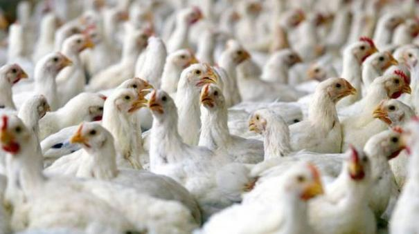 whatsapp-rumors-about-broiler-chicken-and-coronavirus