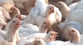 after-outbreak-in-kozhikode-bird-flu-affects-malappuram