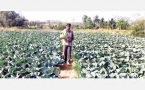 cabbage-farming