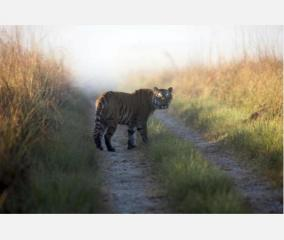 up-woman-killed-by-tiger-villagers-protest