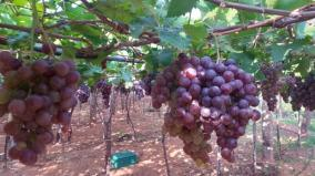 corona-scare-grapes-left-un-plucked-at-the-verge-of-getting-rotten