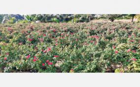 panneer-roses