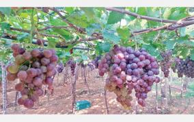 grapes-rotting